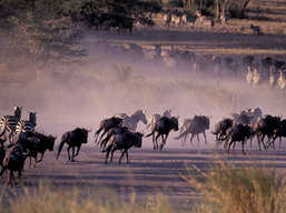 Serengeti Wildlife Safari