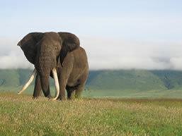 Elephant, Ngorongoro Crater, Tanzania