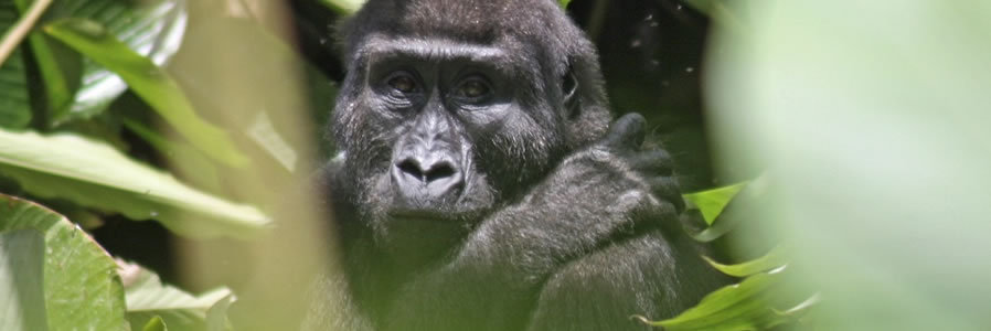 Congo Gorilla Safari - Boundless Journeys